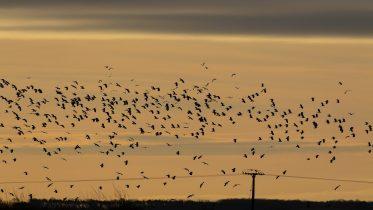 flying-birds-4741605_1920