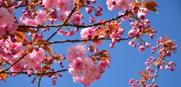 japanese-flowering-cherry-3058342_1920