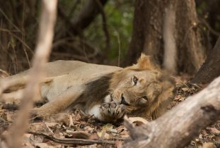 All's not well with the Asiatic lion